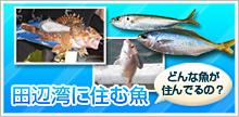 田辺湾に住む魚