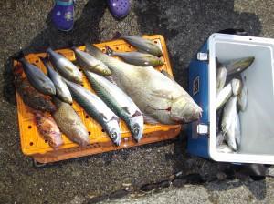 こーんなにおっきな魚が釣れました(๑≧౪≦)2